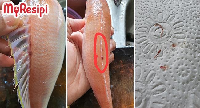 cacing ikan kerisi